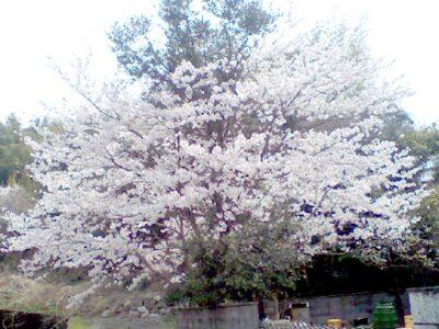 4月3日に会社の桜が満開になりました