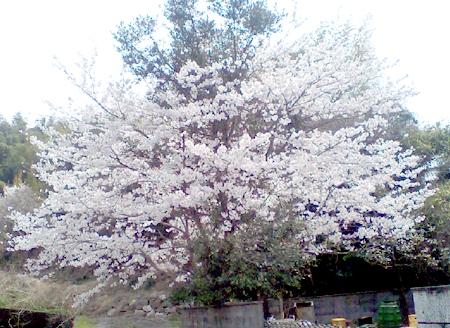 2008/4/8、桜が満開です