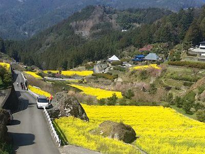 江田菜の花の里菜の花まつり:徳島県名西郡神山町