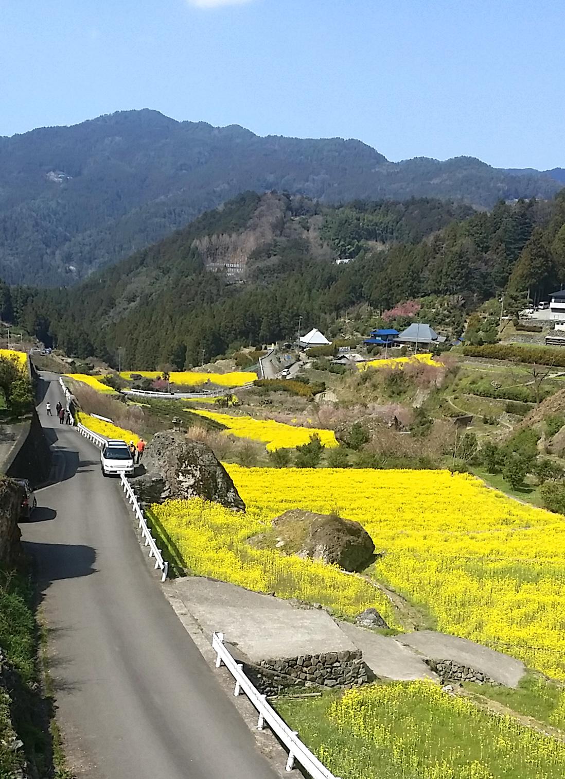 20150328江田菜の花の里菜の花まつり