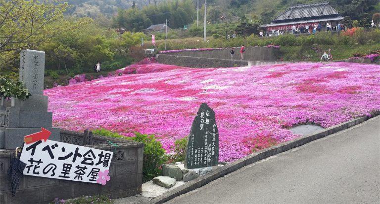 広棚の芝桜