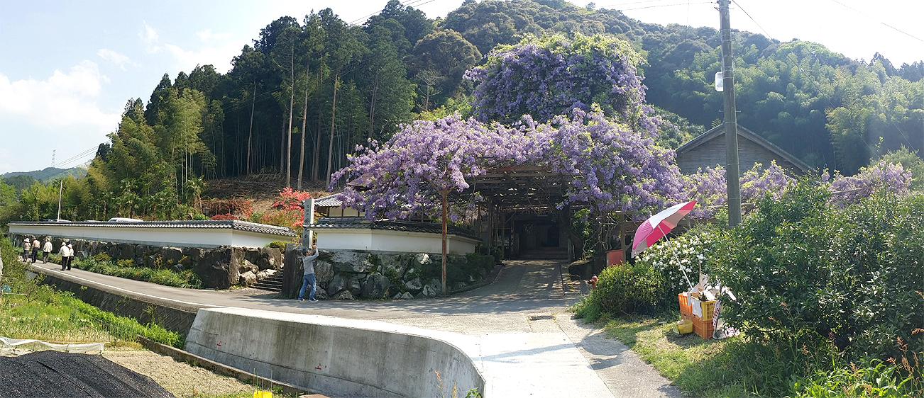 神光寺(じんこうじ)のぼり藤