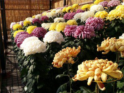 鴨島大菊人形・四国菊花品評会