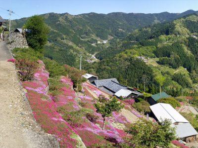 高開石積みの芝桜