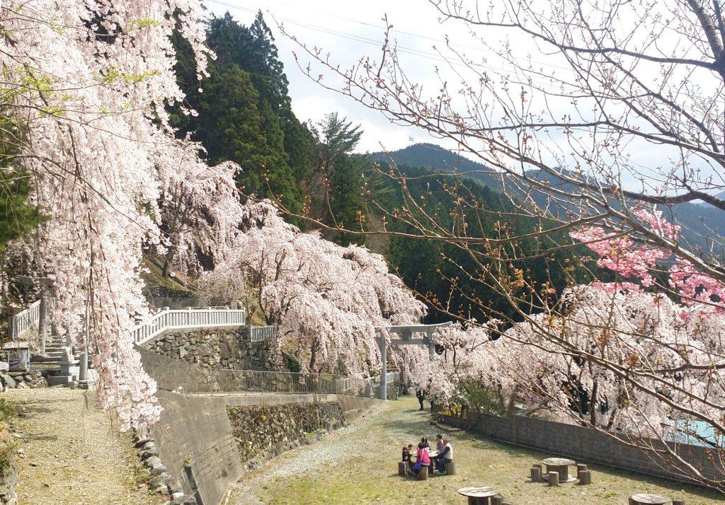 20170415川井峠のしだれ桜が満開でした