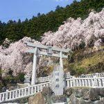 [徳島]川井峠のしだれ桜