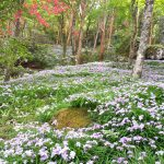 [記憶]ヒメシャガの花言葉は「友人が多い」