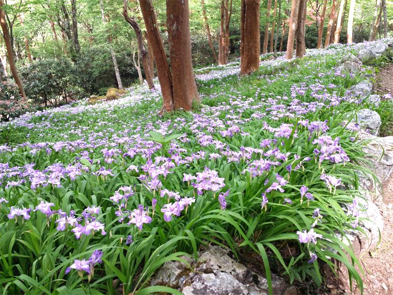 「岳人の森」ヒメシャガ