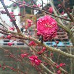 [春]庭の梅が二分咲きです!