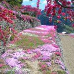 [徳島]「高開の石積みの芝桜」が満開でした