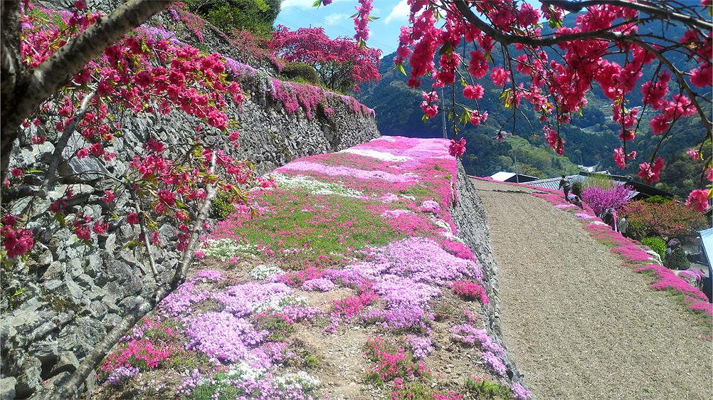 20180408「高開の石積みの芝桜」が満開でした