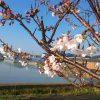 [徳島の春]五分咲きの桜と田植え