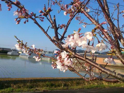 20190403桜と田植え