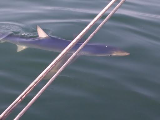 20190728船釣りにサメ登場