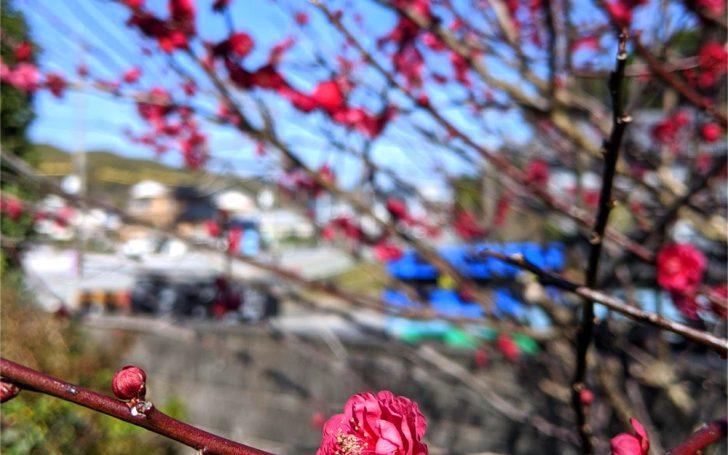 2020年2月4日、庭の梅が八分咲き