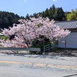 近所、鵠バス停の桜が満開