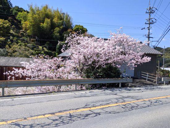 20200405鵠バス停の桜