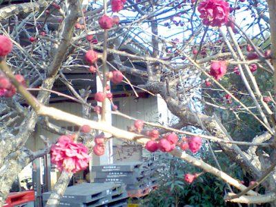 春はもうすぐ。梅が咲き始めました