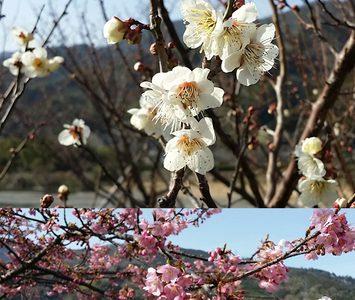 【春だより】勝浦町の寒桜が満開です